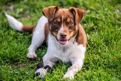 Sguardo felice del cane diritto Fotografie Stock Libere da Diritti