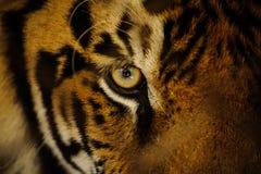 Sguardo feroce dell'occhio della tigre di Bengala Fotografie Stock