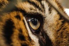 Sguardo feroce dell'occhio della tigre di Bengala Immagini Stock