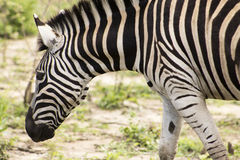 Sguardo fisso alto vicino della zebra Fotografia Stock Libera da Diritti