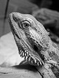 Sguardo fisso barbuto del drago immagini stock