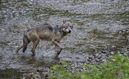 Sguardo fisso costiero del lupo Immagine Stock