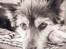 Sguardo fisso dei dog's di M'y Immagine Stock Libera da Diritti