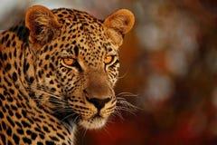 Sguardo fisso dei leopardi Fotografia Stock