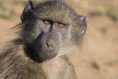 Sguardo fisso del babbuino Immagine Stock