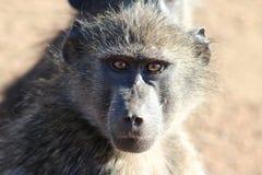 Sguardo fisso del babbuino Immagini Stock Libere da Diritti