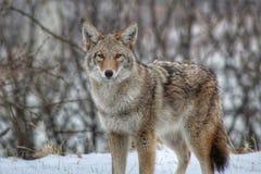 Sguardo fisso del coyote fuori fotografia stock