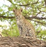Sguardo fisso del cucciolo del leopardo Fotografia Stock Libera da Diritti
