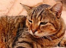 Sguardo fisso del gattino del gatto Immagine Stock