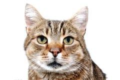 Sguardo fisso del gatto fotografia stock