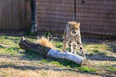 Sguardo fisso del ghepardo Fotografia Stock Libera da Diritti