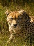 Sguardo fisso del ghepardo Fotografie Stock Libere da Diritti