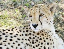 Sguardo fisso del ghepardo Immagini Stock Libere da Diritti
