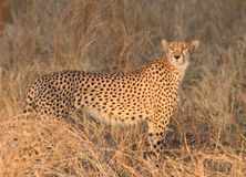Sguardo fisso del ghepardo al tramonto d'ardore Tom Wurl Fotografie Stock