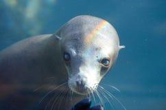 Sguardo fisso del leone marino Immagine Stock