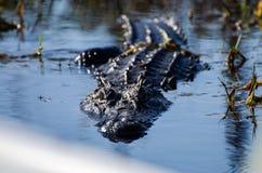 Sguardo fisso dell'alligatore della palude di Okefenokee Immagine Stock Libera da Diritti
