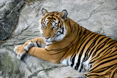Sguardo fisso delle tigri Fotografia Stock Libera da Diritti