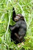 Sguardo fisso dello scimpanzè Immagine Stock