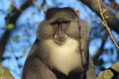 Sguardo fisso di Sykes Monkey Fotografia Stock Libera da Diritti