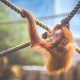 Sguardo fisso di un bambino dell'orangutan, appendente sulla corda spessa Una piccola grande scimmia sta andando essere un alfa m Fotografie Stock