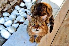 Sguardo fisso di un gatto affamato Immagine Stock