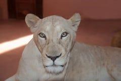 Sguardo fisso di una leonessa Immagine Stock Libera da Diritti