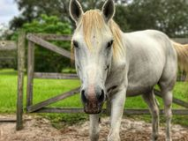 Sguardo fisso grigio del cavallo Immagini Stock Libere da Diritti
