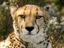 Sguardo fisso II del ghepardo Fotografia Stock Libera da Diritti