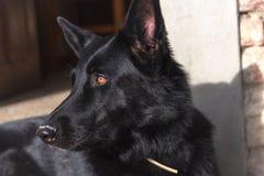 Sguardo fisso intenso del cane da guardia nero del pastore tedesco fotografia stock
