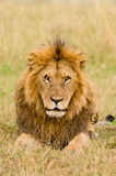 Sguardo fisso maschio del leone Fotografia Stock