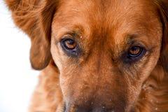 Sguardo fisso messo a fuoco di un cane nominato Sophie Fotografie Stock