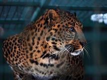 Sguardo giallo del leopardo al ritratto sinistro Fotografia Stock