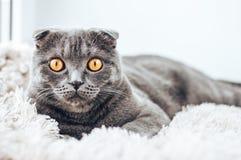 Sguardo grigio del gatto alla macchina fotografica e trovarsi sul letto Immagine Stock