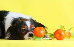 Sguardo lanuginoso del primo piano del cane ad un mandarino su un fondo giallo Immagini Stock