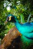 Sguardo maschio del lato del ritratto del pavone fotografie stock