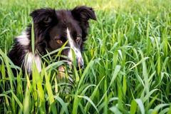 Sguardo profondo di border collie selvaggio nelle erbacce verdi. Immagini Stock