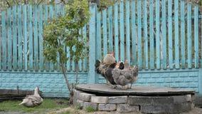 Sguardo rustico, gallo e gallina video d archivio