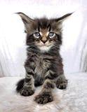 Sguardo selvaggio del gattino di Maine Coon Fotografia Stock Libera da Diritti