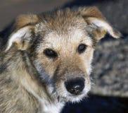 Sguardo sincero del cane Immagine Stock