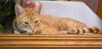 Sguardo a strisce giallo del gatto Immagini Stock Libere da Diritti