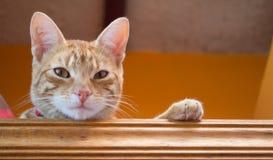 Sguardo a strisce giallo del gatto Fotografia Stock Libera da Diritti