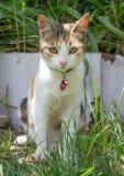 Sguardo a strisce giallo del gatto Fotografie Stock