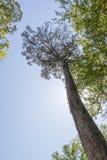 Sguardo in su dell'albero Fotografie Stock Libere da Diritti