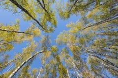 Sguardo in su nella foresta della betulla Immagine Stock