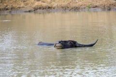 Sguazzare bufalo d'acqua in un waterhole fotografie stock libere da diritti