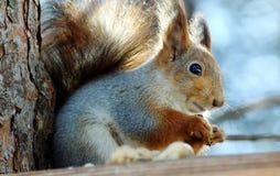 Sguirrel auf dem Baum Lizenzfreies Stockfoto