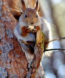 Sguirrel on the tree. The image  of sguirrel gnawing nuts Royalty Free Stock Images