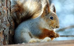 Sguirrel on the tree. The image  of sguirrel gnawing nuts Royalty Free Stock Photo
