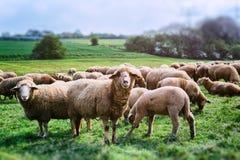 sh eep van schapen kudde het voeden in het gras stock foto