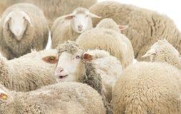 sh eep van schapen kudde het voeden in het gras Royalty-vrije Stock Afbeeldingen